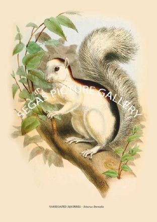 VARIEGATED SQUIRREL - Sciurus Dorsalis